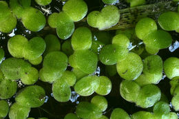 Image of Common Duckweed