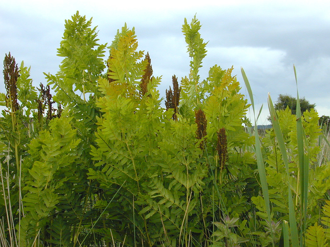 Image of Flowering fern
