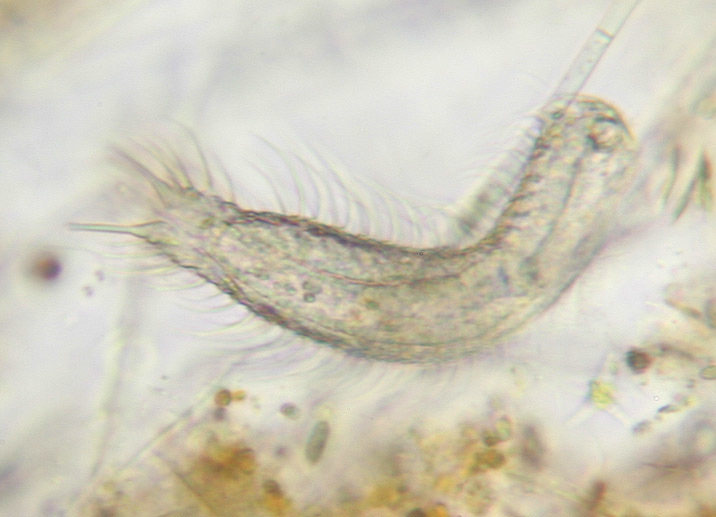 Image of Chaetonotus