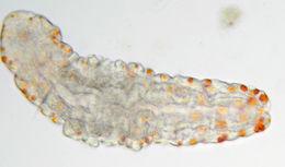 Image of <i>Aeolosoma quaternarium</i> Ehrenberg 1831
