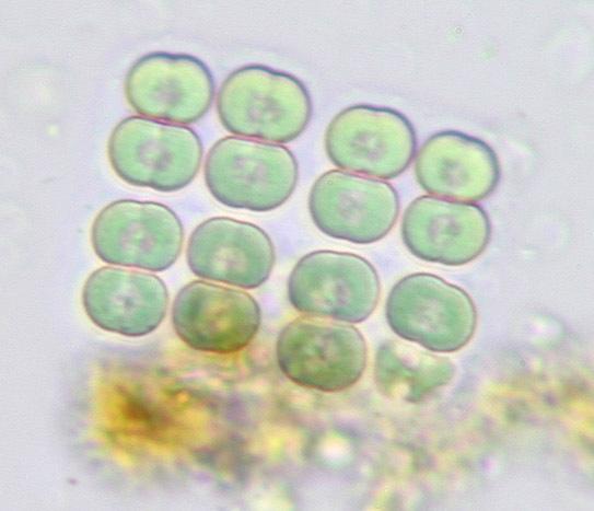 Image of Merismopedia
