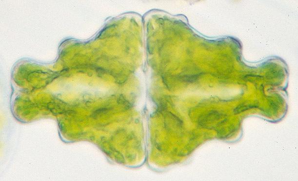 Image of <i>Euastrum didelta</i> Turpin ex Ralfs 1848