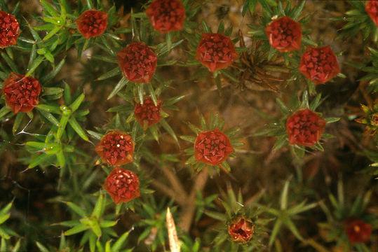 Image of polytrichum moss