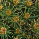 Image of juniper polytrichum moss