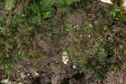 Image of <i>Fissidens viridulus</i>