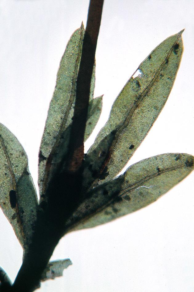 Image of <i>Fissidens gracilifolius</i> Bruggeman-Nannenga & Nyholm ex Nyholm 1986