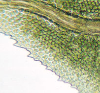 Image of fissidens moss
