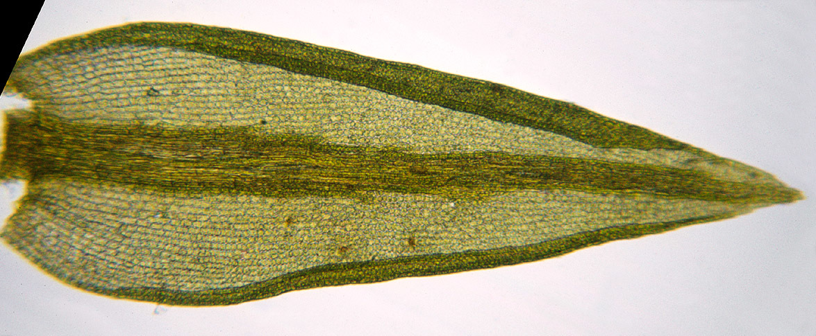 Image of ceratodon moss