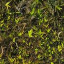 Image of trichostomum moss