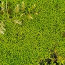 Image of convoluted barbula moss