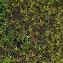Image of Red Beard Moss