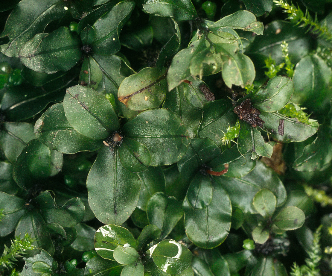 Image of Dotted Thyme-moss