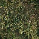 Image of homalia moss