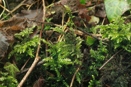 Image of common striated feather-moss