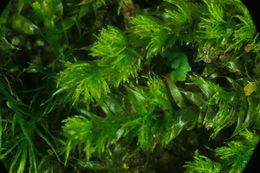 Image of elegant pseudotaxiphyllum moss