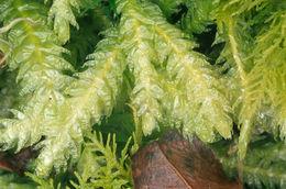 Image of undulate plagiothecium moss