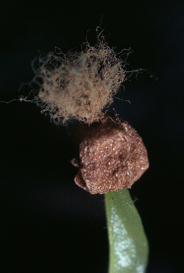 Image of overleaf pellia