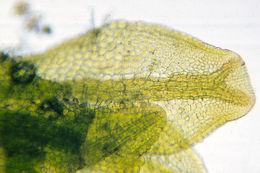 Image of <i>Metzgeria fruticulosa</i>