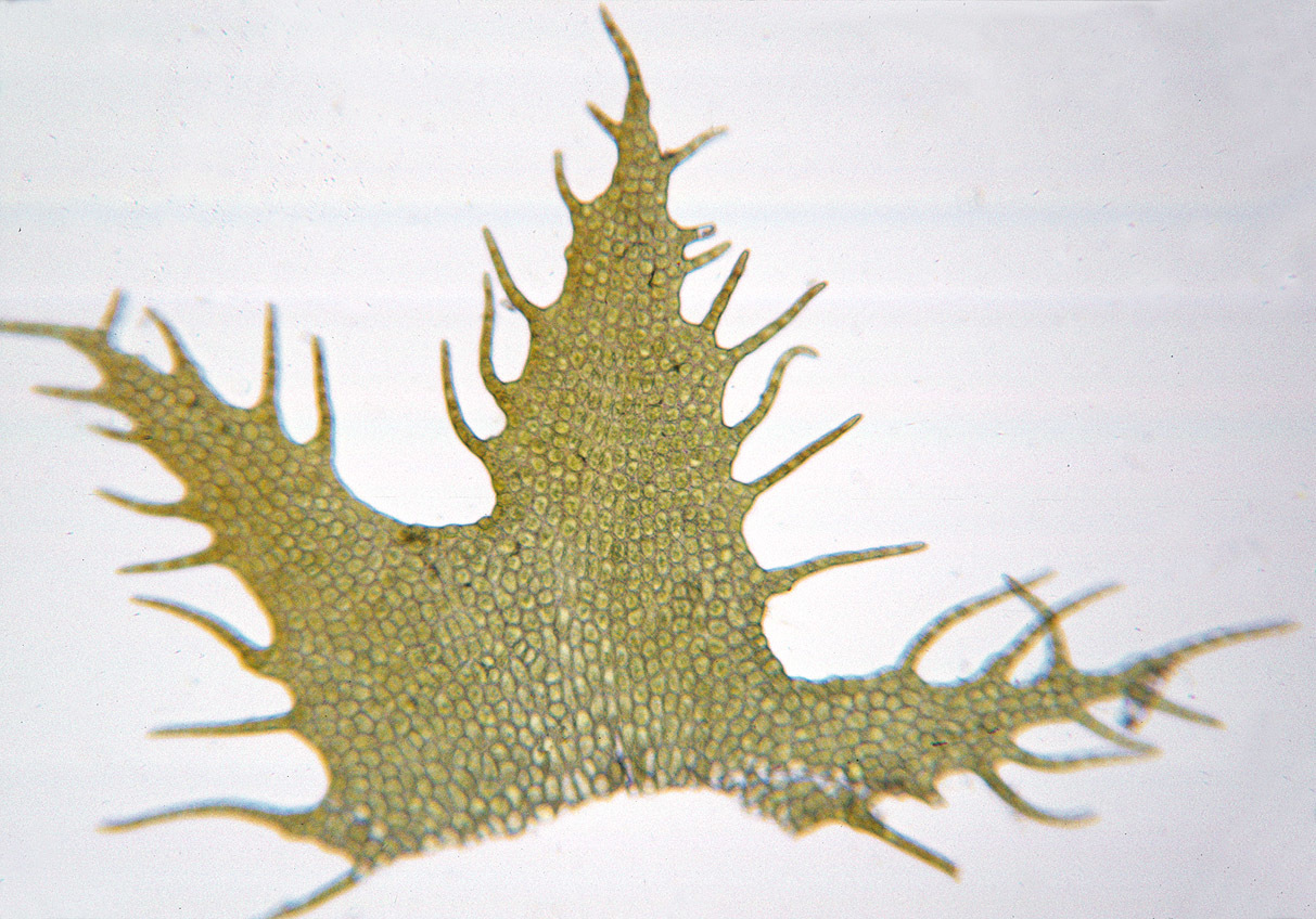 Image of <i>Ptilidium ciliare</i> (L.) Hampe