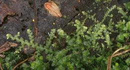 Image of <i>Lepidozia reptans</i> (L.) Dumort.
