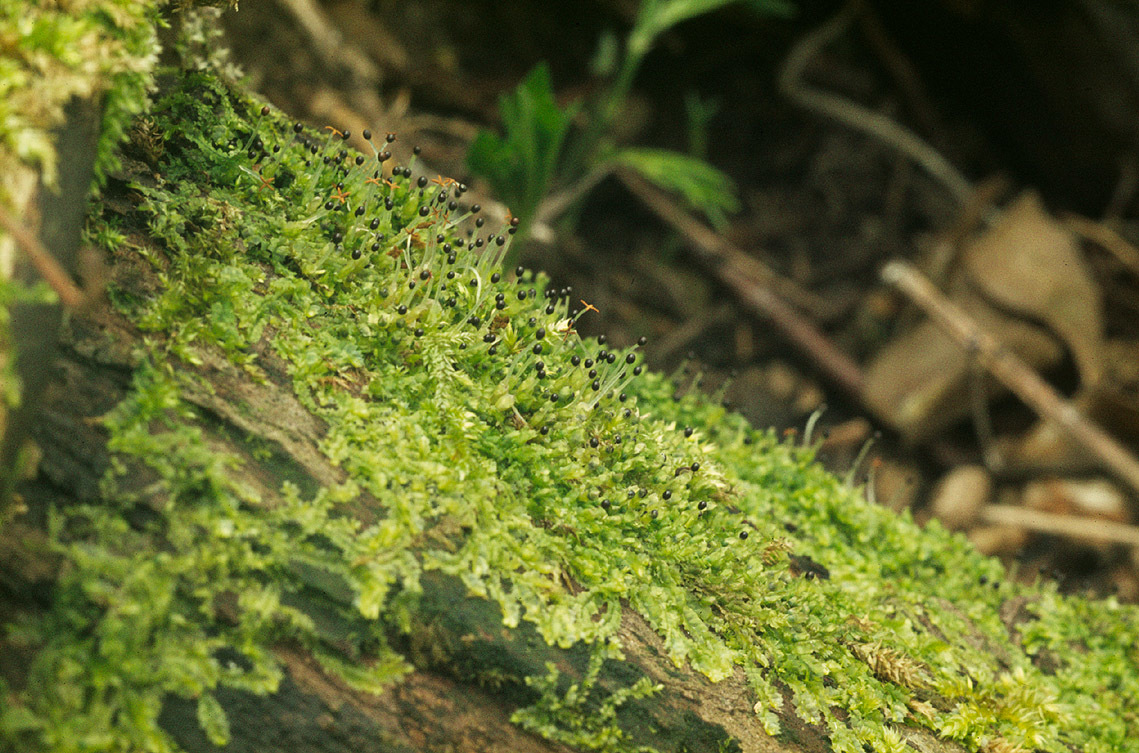 Image of variable-leaved crestwort