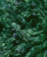 Image of Bifid Crestwort