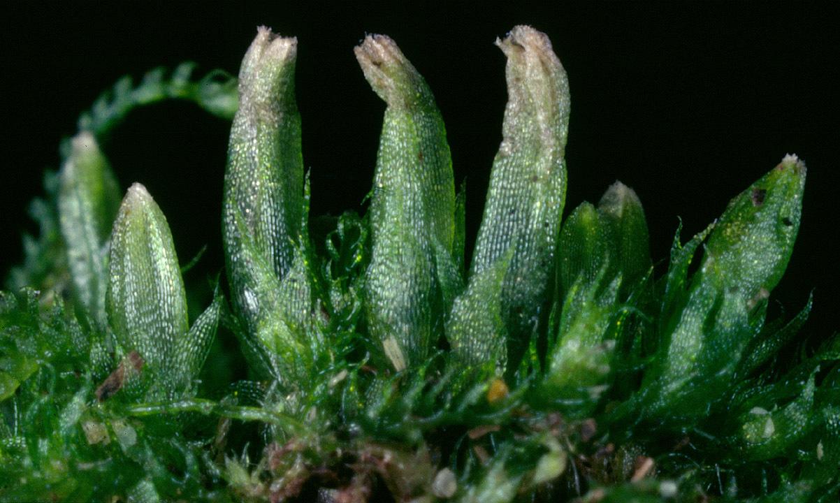 Image of <i>Cephalozia bicuspidata</i> (L.) Dumort.