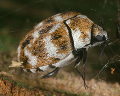 Image of varied carpet beetle