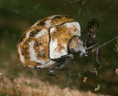 Image of varied carpet beetle