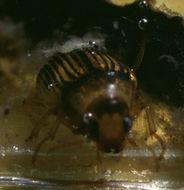 Image of <i>Haliplus confinis</i> Stephens 1828