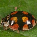 Image of 10-Spot Ladybird