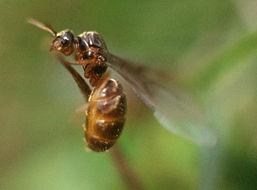 Image of cornfield and citronella ants