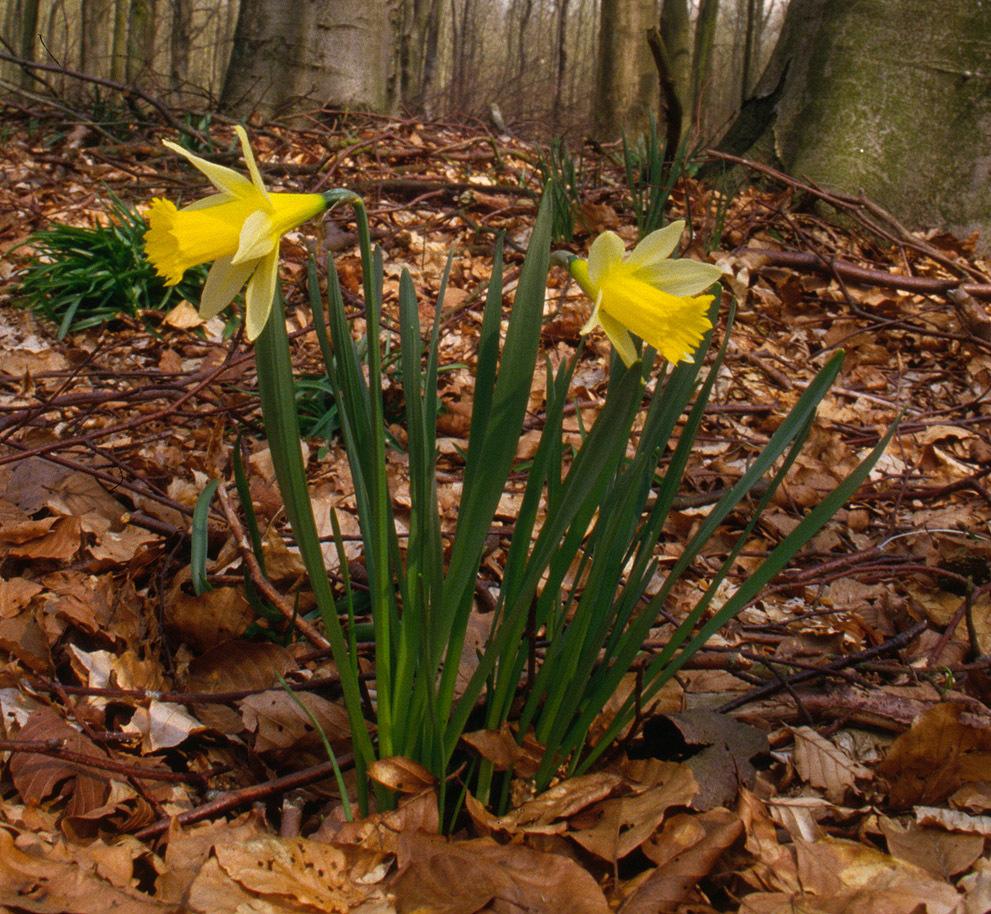 Image of daffodil