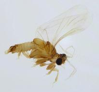 Image of <i>Elenchus tenuicornis</i> (Kirby 1815)