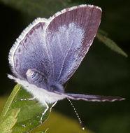 Image of <i>Celastrina argiolus britanna</i> (Verity 1919)