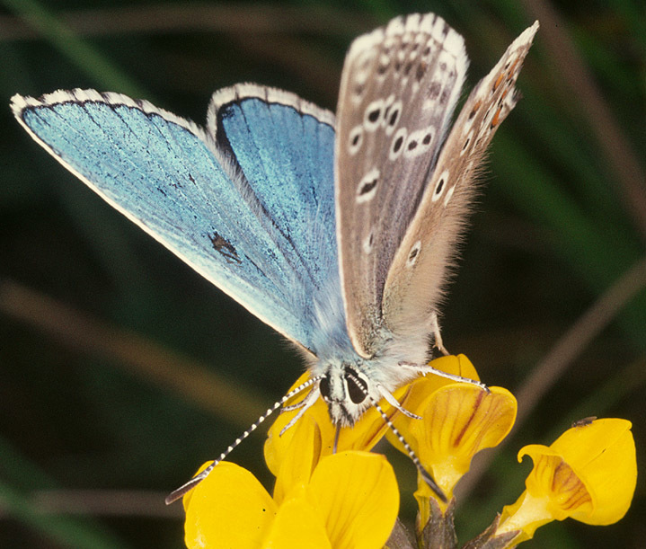 Image of Adonis Blue