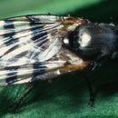 Image of <i>Ceroxys urticae</i> (Linnaeus 1758)