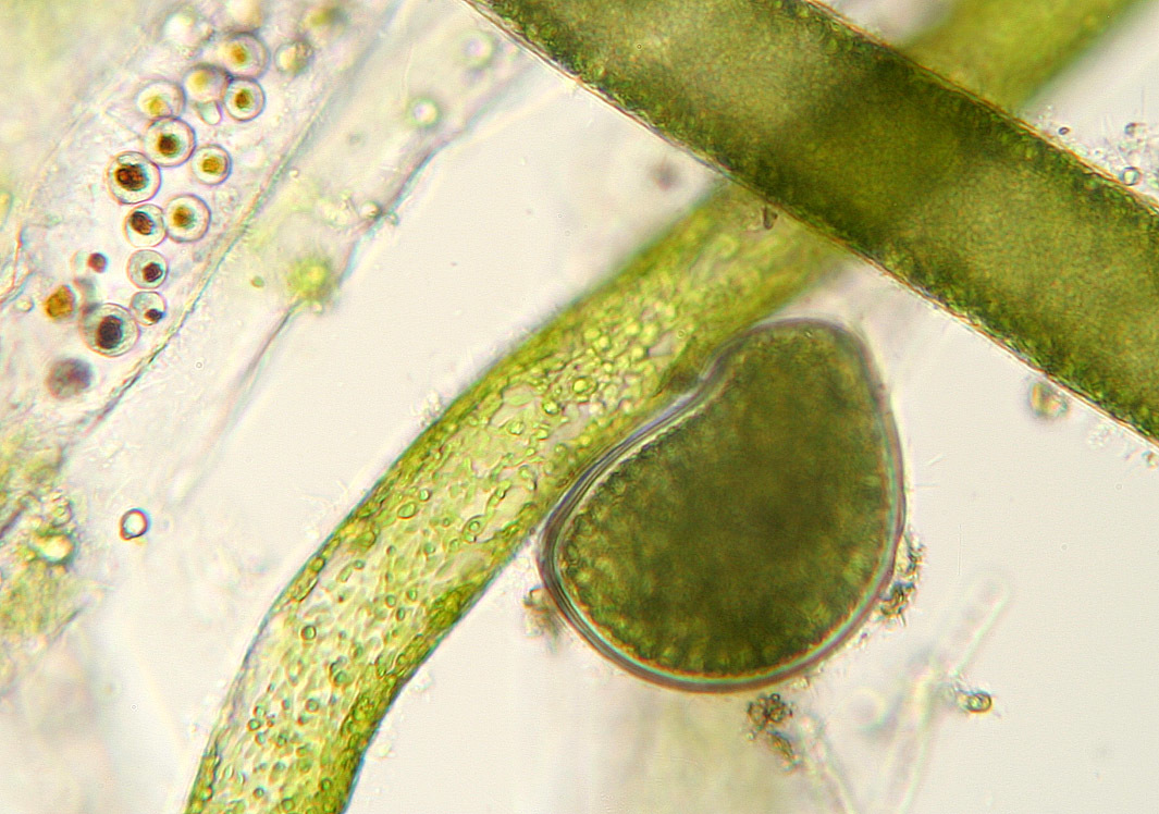 صورة <i>Vaucheria dillwynii</i> (F. Weber & Mohr) C. Agardh 1811