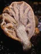 Image of <i>Asterophora parasitica</i> (Bull.) Singer 1951
