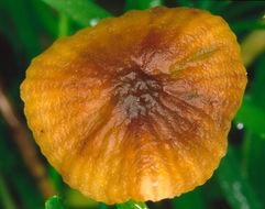 Image of <i>Rhizomarasmius undatus</i> (Berk.) R. H. Petersen 2000