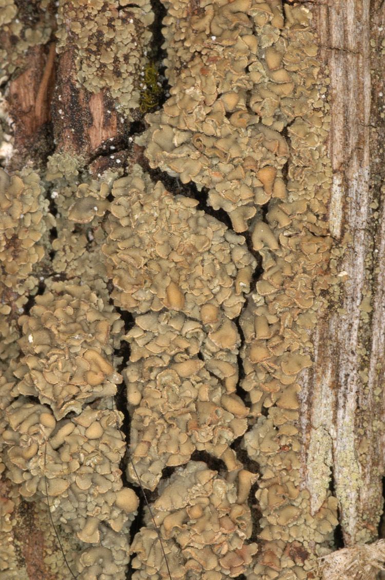 Image of cockleshell lichen