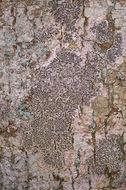 Image of elegant script lichen