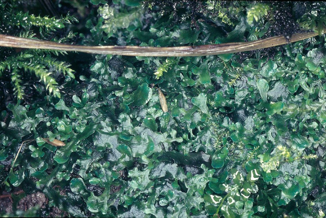 Image of Pellia