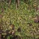 Image of <i>Reboulia hemisphaerica</i> (L.) Raddi