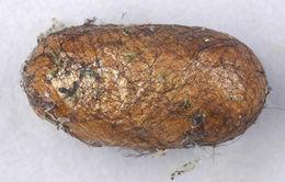 Image of Common pine sawfly