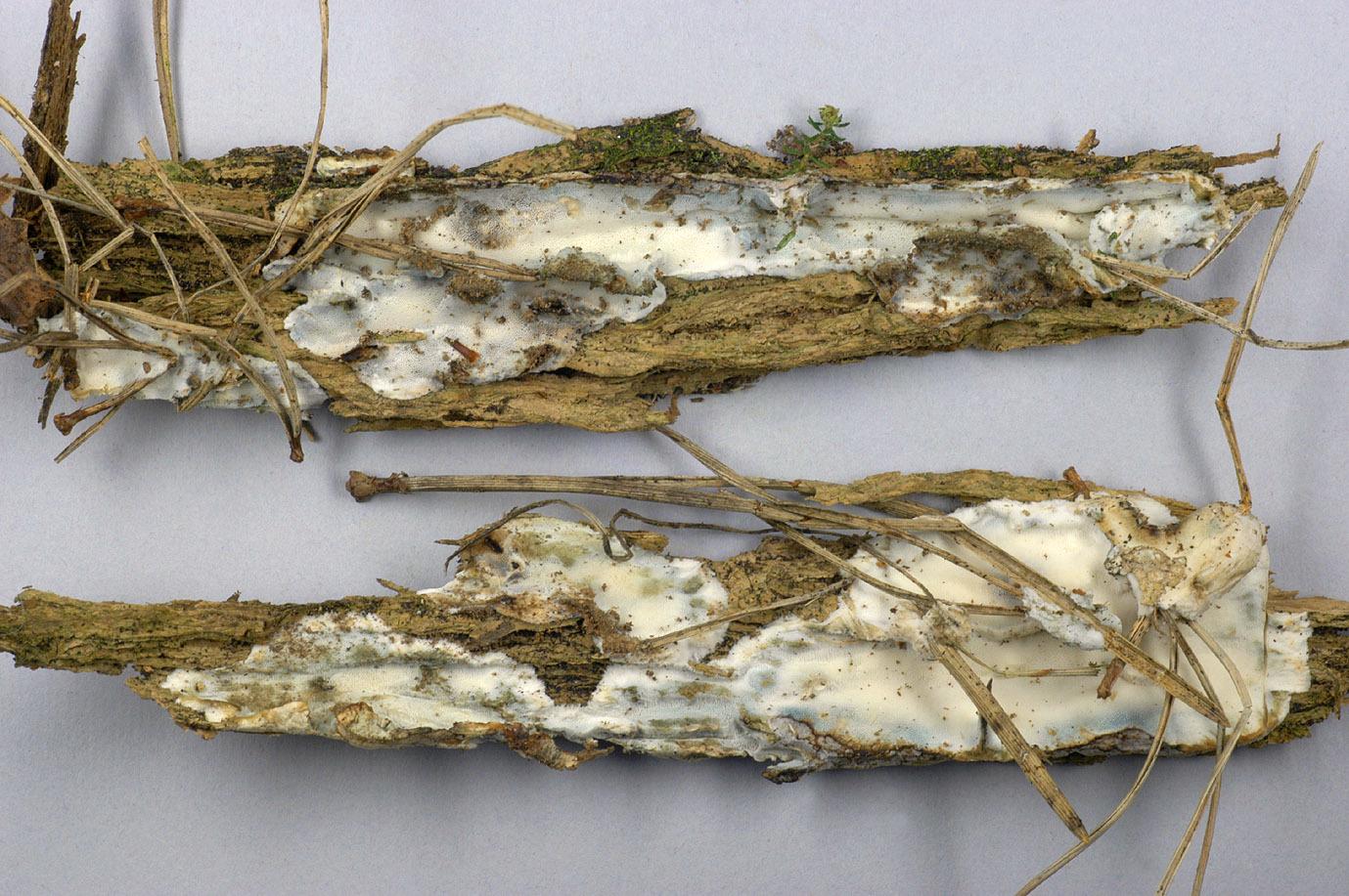 Image of <i>Skeletocutis nivea</i> (Jungh.) Jean Keller 1979