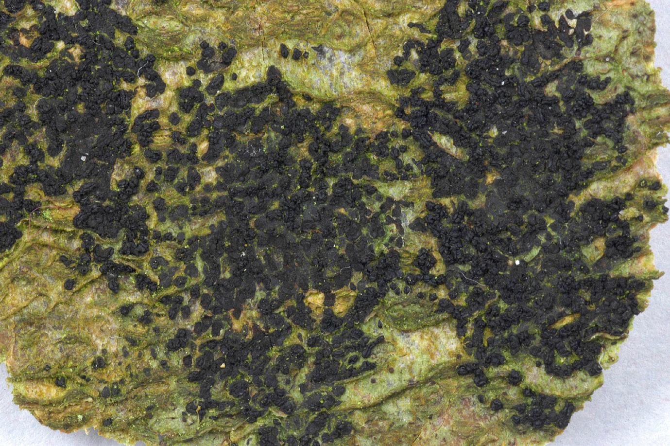 Image of <i>Ascodichaena rugosa</i> Butin 1977