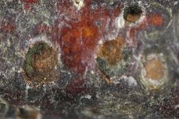 Image of <i>Pleomassaria siparia</i> (Berk. & Broome) Sacc. 1883
