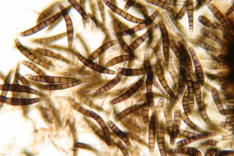 Image of <i>Asteromassaria macrospora</i> (Desm.) Höhn. 1917