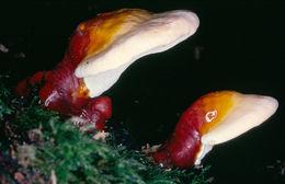 Image of Lingzhi mushroom